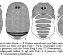 Dorsal scutum