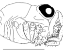 Acropsopilionidae