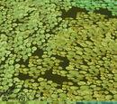 Salvinia rotundifolia (Eryel)