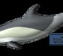 Delfin zwyczajny