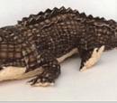 Google crocodile