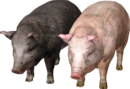 The witcher pig.png