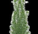 Western Waterweed (Z-Studio)