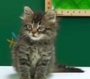 Miku (Cat)
